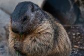 Marmota marmota — Stock Photo