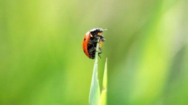 Due coccinelle sotto il sole — Video Stock