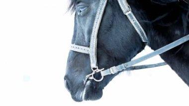 Breathing of black horse in winter — Stock Video