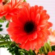 Red Transvaal daisy - Stock Photo