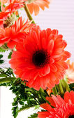 Red Transvaal daisy — Stock Photo