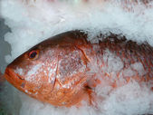 Red Snapper — Stock Photo
