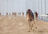 Racing camels with robot jockeys. Doha, Qatar, Middle East — Stock Photo