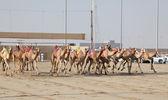 Racing camels with robot jockeys, Doha Qatar — Stock Photo