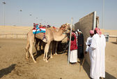 Racing camels at the race track in Doha. Qatar, Middle East — Stock Photo