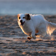 Small white dog running on the beach — Stock Photo