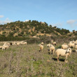 Sheeps on a pasture in Andalusia, Spain — Stock Photo