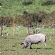 Black Iberian pig on a meadow — Stock Photo