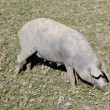 Black Iberian pig on a meadow - Stock Photo