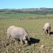 Black Iberian pigs on a meadow in Andalusia, Spain - Stock Photo