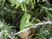 Zielony tropikalne żaby — Zdjęcie stockowe