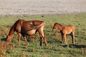 Horses in the Donana National Park, Province of Huelva Andalusia, Spain — Stock Photo