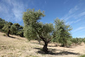 Olive trees plantation in Andalusia, Spain — Stock Photo
