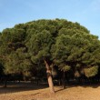 Stock Photo: Pine trees in Andalusia, Spain