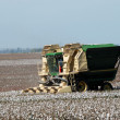 Stock Photo: Cotton crop
