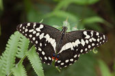 Chequered swallowtail — Stock Photo