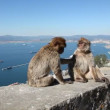 Monkeys in Gibraltar — Stock Video