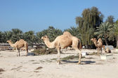 Camel farm in Bahrain, Middle East — Stock Photo