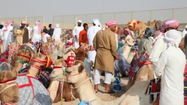 Bedouins with their racing camels — Stockvideo