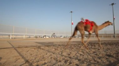 Camel race in Qatar — Stock Video