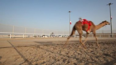 Camel race in Qatar — Wideo stockowe