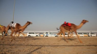 Camel race in Doha, Qatar — Stock Video