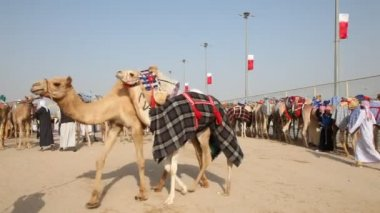 Bedouins with racing camels in Doha, Qatar — Stockvideo