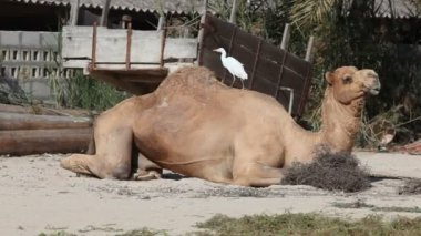White bird cleaning camels fur — Stock Video