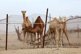 Dromedary camels behind a fence. Qatar, Middle East — Stock Photo