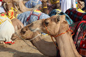 Racing camels in Doha, Qatar, Middle East — Stock Photo