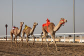 Traditional camel race in Doha, Qatar, Middle East — Stok fotoğraf