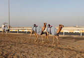 Traditional camel race in Doha, Qatar, Middle East — Стоковое фото