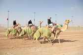 Bedouins with their racing camels in Doha, Qatar, Middle East — Stock Photo