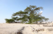 The Tree of Life in the desert of Bahrain, Middle East — Foto de Stock