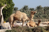 Camel farm in Bahrain, Middle East — Stock fotografie