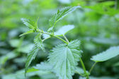 Leaf of stinging nettle — Stock Photo