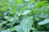 Leaf of stinging nettle — Stock Photo