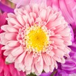 Macro of Chrysanthemum Flower Purple — Stok fotoğraf