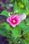 Pink mallow Flowers (hollyhock, Alcea rosea) — Stock Photo