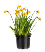 Beautiful Yellow Daffodils flowers in pot isolated on white background — Stock Photo
