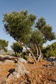 橄榄树 — 图库照片