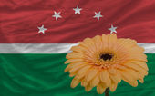 Gerbera flower in front national flag of of maghreb — Stock Photo
