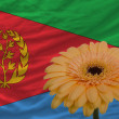 Stock Photo: Gerberflower in front national flag of of eritrea