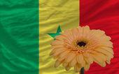 Gerbera flower in front national flag of senegal — Stock Photo