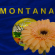 Gerbera flower in front  flag of american state of montana - Stock Photo
