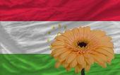 Gerbera flower in front national flag of tajikistan — Stock Photo