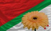 Gerbera flower in front national flag of of katanga — Stock Photo
