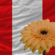 Gerbera flower in front  national flag of peru — Foto Stock