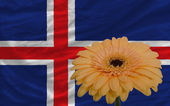 Gerbera flower in front national flag of iceland — Stock Photo