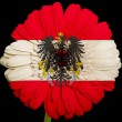 Gerbera daisy flower in colors national flag of austria on b — Stock Photo